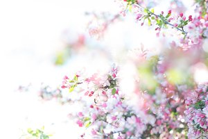 Pastel pink spring tree blossoms