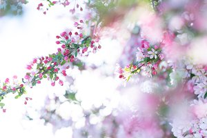 Soft pink spring tree blossoms