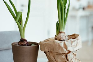 Sprouted bulbs of plants in pots