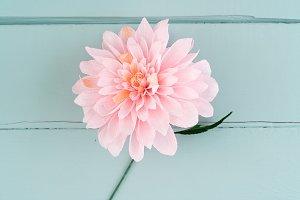 Single paper dahlia flower
