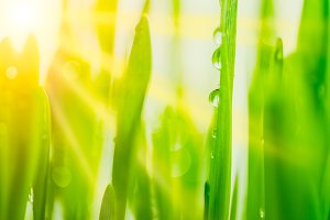 Bright fresh vibrant spring green grass close-up with sun rays between the leaves