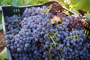 Grapes harvest in Barossa vineyards
