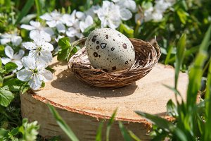 Quail eggs in a decorative nest on a stump. On the background of green grass