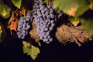 Grapes with old vine in dark