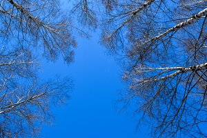 Blue sky in a birch forest