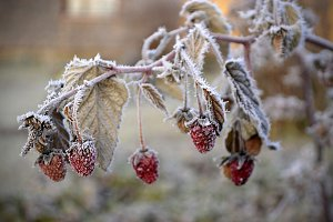 Raspberry in the frost.