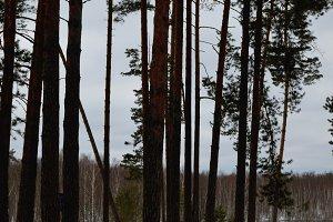 Pine eu in March.