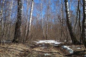 Birch forest in March.