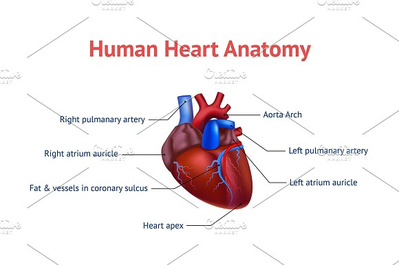 Human Anatomy Heart Card Poster