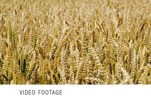 Wheat swinging slowly in the wind
