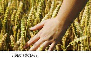 Female hand touching ripe wheat