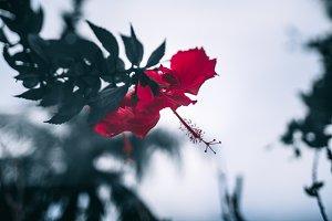 Red flower bud&#x3B; shallow dof