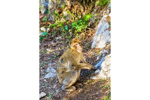 Barbary macaque at the Upper Rock of Gibraltar