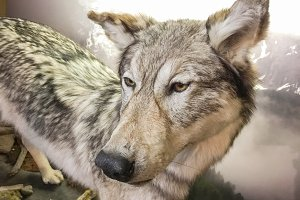 Close-up of Grey Wolf
