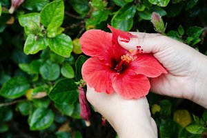 Red Hibiscus, Red Flower, Woman Hand