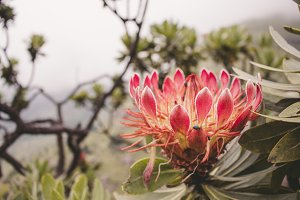 Protea in Bloom, South Africa