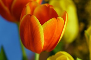 Yellow and red tulips, mimosa