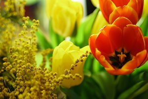 Red and yellow tulips, mimosa