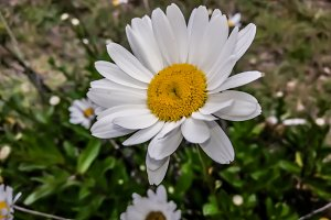 Daisy flower on a Daisy day