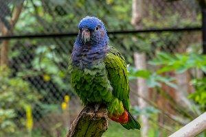 Blue head parrot