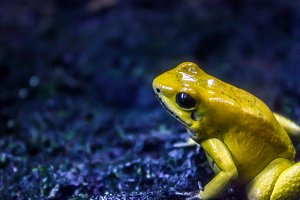 Yellow poison frog.