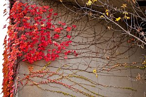 Wall decoration & red grapes leafs