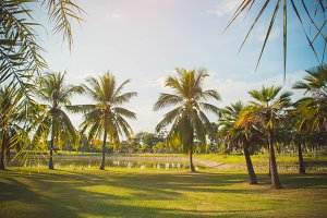 Coconut palm in the park summer