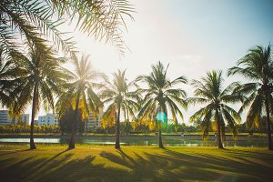 Coconuy palm in the park summer