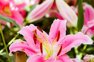 Lilly flowers