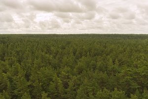 Pine forest to the horizon