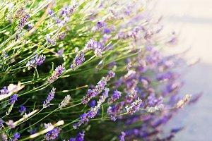 Lavender bushes closeup on sunset