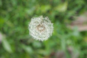 white common Dandelion flower