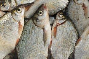 Catch of bream fish