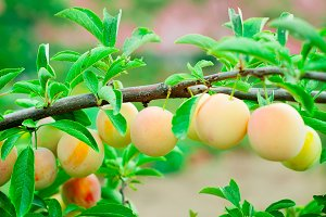 Yellow Plums on a branch