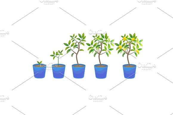 Plant Growing Lemon Tree In Pot