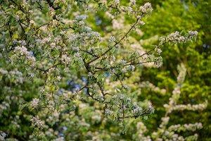 Beautiful apple blossom