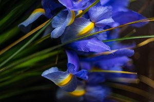Blue iris flowers in spring bunch