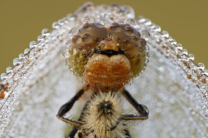Dragonfly in a veil