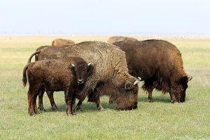 Buffalos, Askania-Nova park, Ukraine