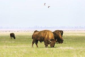 Wild buffalos, Askania-Nova, Ukraine