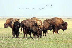 Group of wild buffalos. Askania-Nova