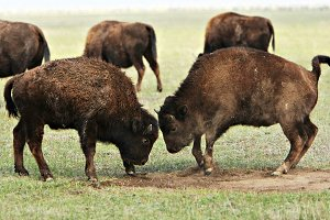 Two buffalos fighting