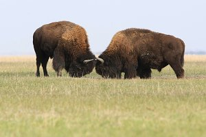 Wild buffalos fighting