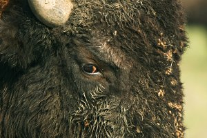 Close-up buffalo