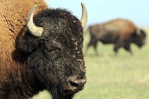 Wild buffalo, Askania-Nova, Ukraine