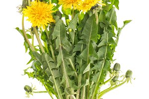 Dandelion flowers with green leaves