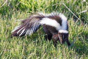 Striped Skunk in Alert