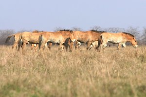 Herd of tarpan horses