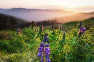 Lupine Blooms at Sunset