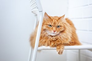 Red fluffy cat